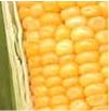 Previsão do tempo para cidades produtoras de milho