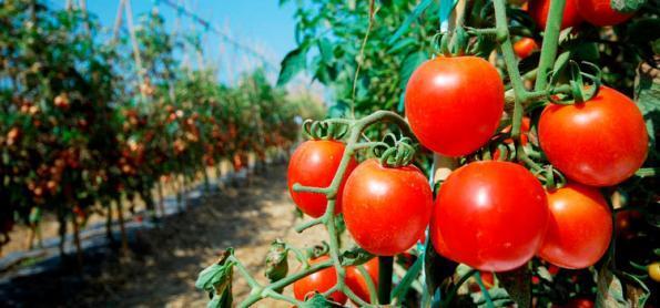 Calor intenso acelera colheita de tomate