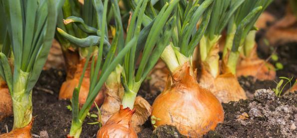 Alta produção da cebola diminui preços