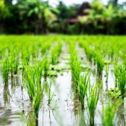 Lavoura do arroz fica mais uma vez comprometida