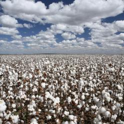 Chuva impossibilita o início do plantio de algodão no MT