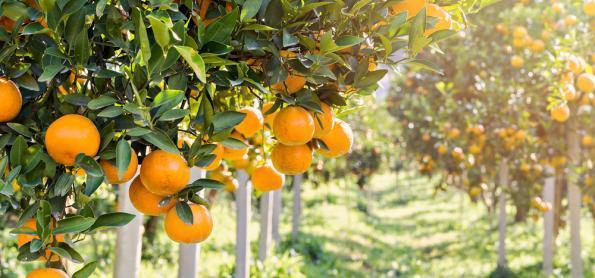 Chuva vai aumentar nas lavouras de tangerina de SP