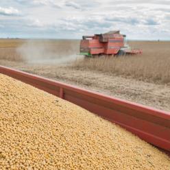 Chuva compromete qualidade dos grãos em MT