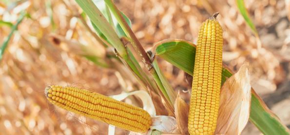 Plantio do milho safrinha é iniciado em Mato Grosso