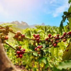 Café registra bom desenvolvimento no campo