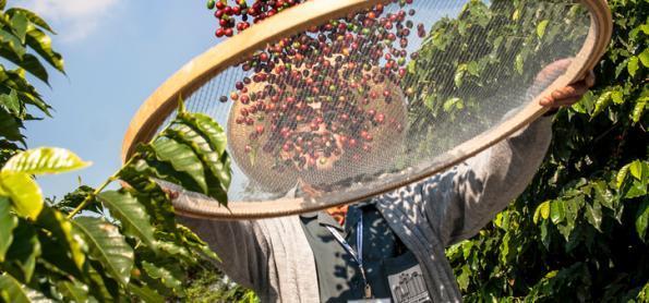 Nova fronteira de café no Brasil? Onde fica?