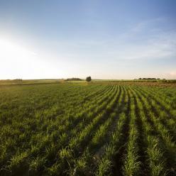Baixa umidade do solo atrapalha desenvolvimento da cana