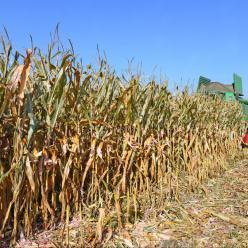 Condições são favoráveis ao trabalho de colheita da cana