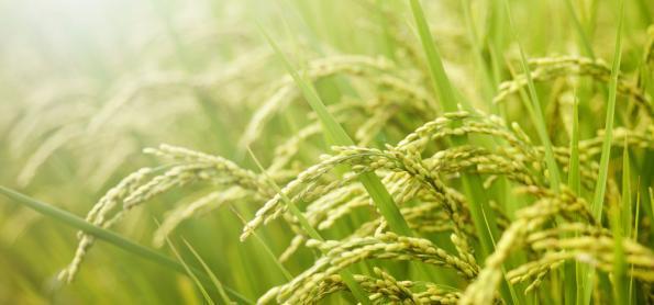 Colheita do arroz avança no RS