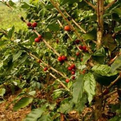 Baixas temperaturas não prejudicam o café