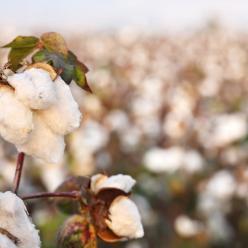 O avanço dos tratos culturais do algodão não enfrentam problemas
