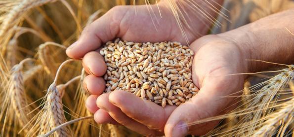 Trigo gera bons lucros aos produtores