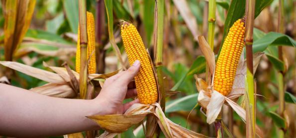 Plantio de milho atingiu 100% no Rio Grande do Sul