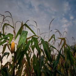 Milho safrinha sofre consequências da estiagem