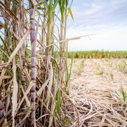 Tempo seco favorece a colheita da cana-de-açúcar