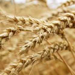 Lavoura do trigo tem colheita beneficiada