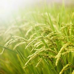 Chuva beneficia desenvolvimento das lavouras de inverno