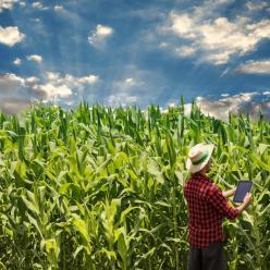 Frio pode atrasar desenvolvimento das lavouras de milho