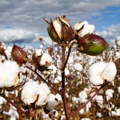 Qualidade das fibras do algodão continua sendo prejudicada
