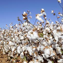Colheita do algodão é favorecida