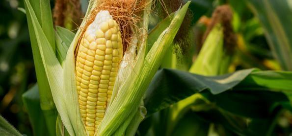 26% da safra de milho do Paraná não está em boas condições
