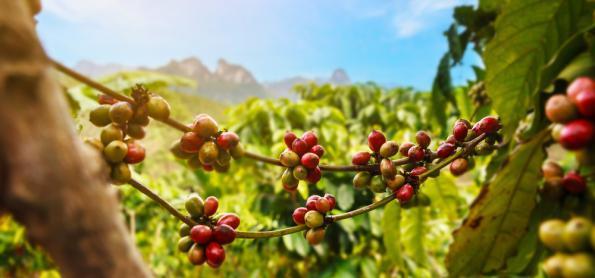 Lavouras de café iniciam a floração