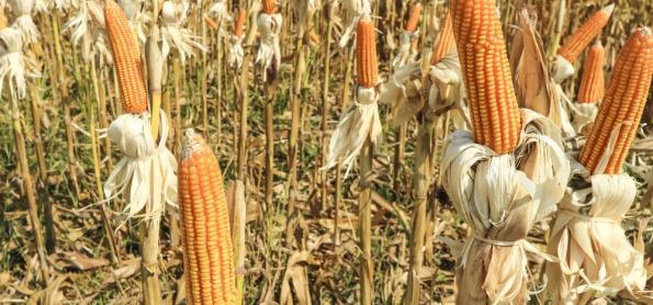 Lavoura do milho sofre paralisação na colheita