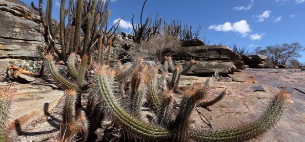 Sementes e mudas podem ser soluções para Caatinga