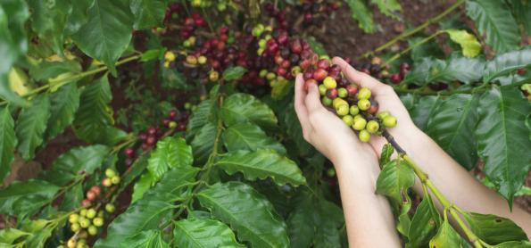 Trabalho de colheita do café será desfavorecido pela chuva