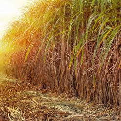 Colheita da cana-de-açúcar continua paralisada
