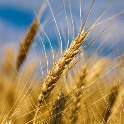 Lavoura de trigo garante boas condições de desenvolvimento