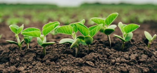 Seca prejudicou lavouras de soja em MS e GO