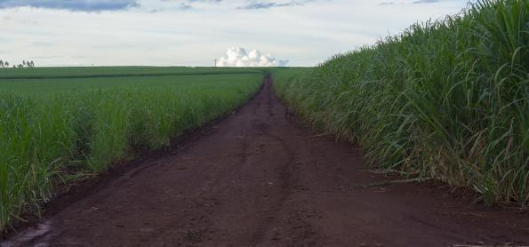 Cana-de-açúcar tem colheita comprometida