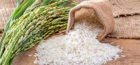 Estudo busca melhorar a tolerância do arroz