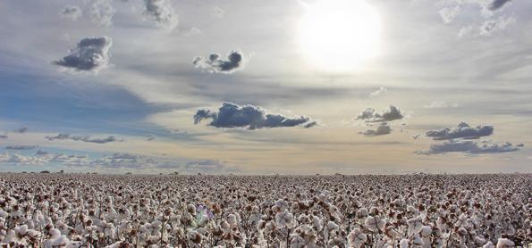 Colheita do algodão tem bons resultados no oeste da Bahia