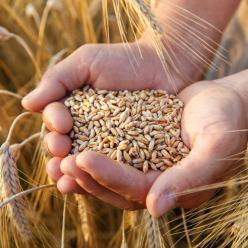 Chuva inviabiliza colheita do trigo no Sul