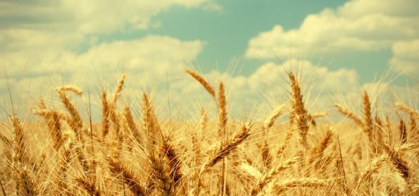 Excesso de chuva prejudica o trigo