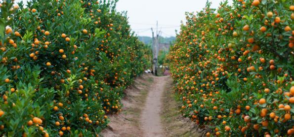 Chuva diminui nos laranjais paulistas