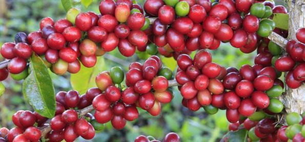 Produtividade de café no estado da Bahia