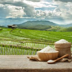 Clima de janeiro prejudicou a cultura do arroz