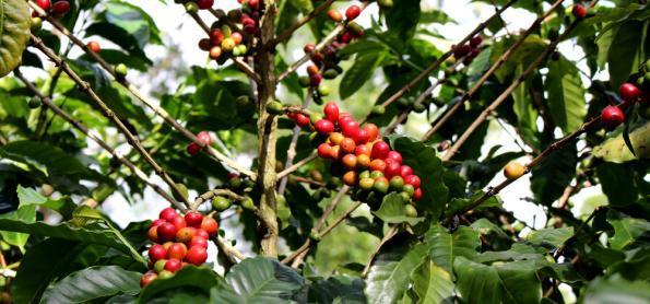 Safra de café sofre influência de fenômeno bianual