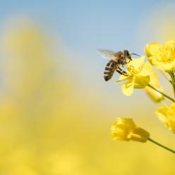 Por que o Brasil deveria se importar com a morte de abelhas