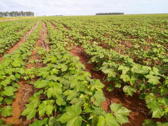 plantio de algodão Bahia