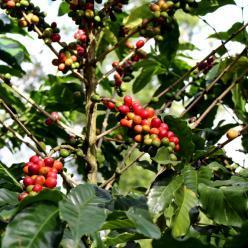 Produção de café na Bahia deve passar 3 milhões de sacas