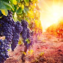 Risco climático para a cultura da uva
