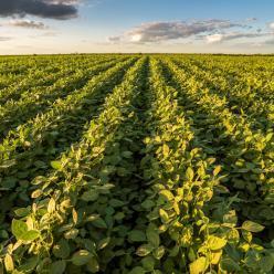Estimativa de produção de soja é de 114,3 milhões de t