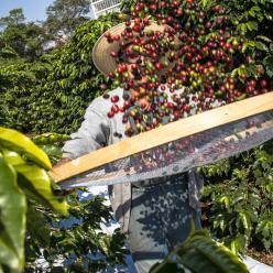 Safra mundial de café foi estimada em 168 milhões de sacas