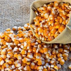 Semente de milho orgânica chega ao mercado