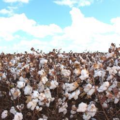 Bahia prevê crescimento de 15% na produção de algodão