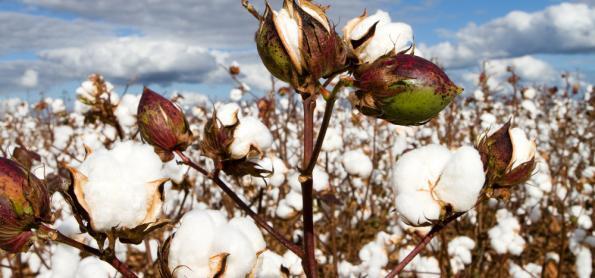 Cultivo do algodão no sistema de plantio direto